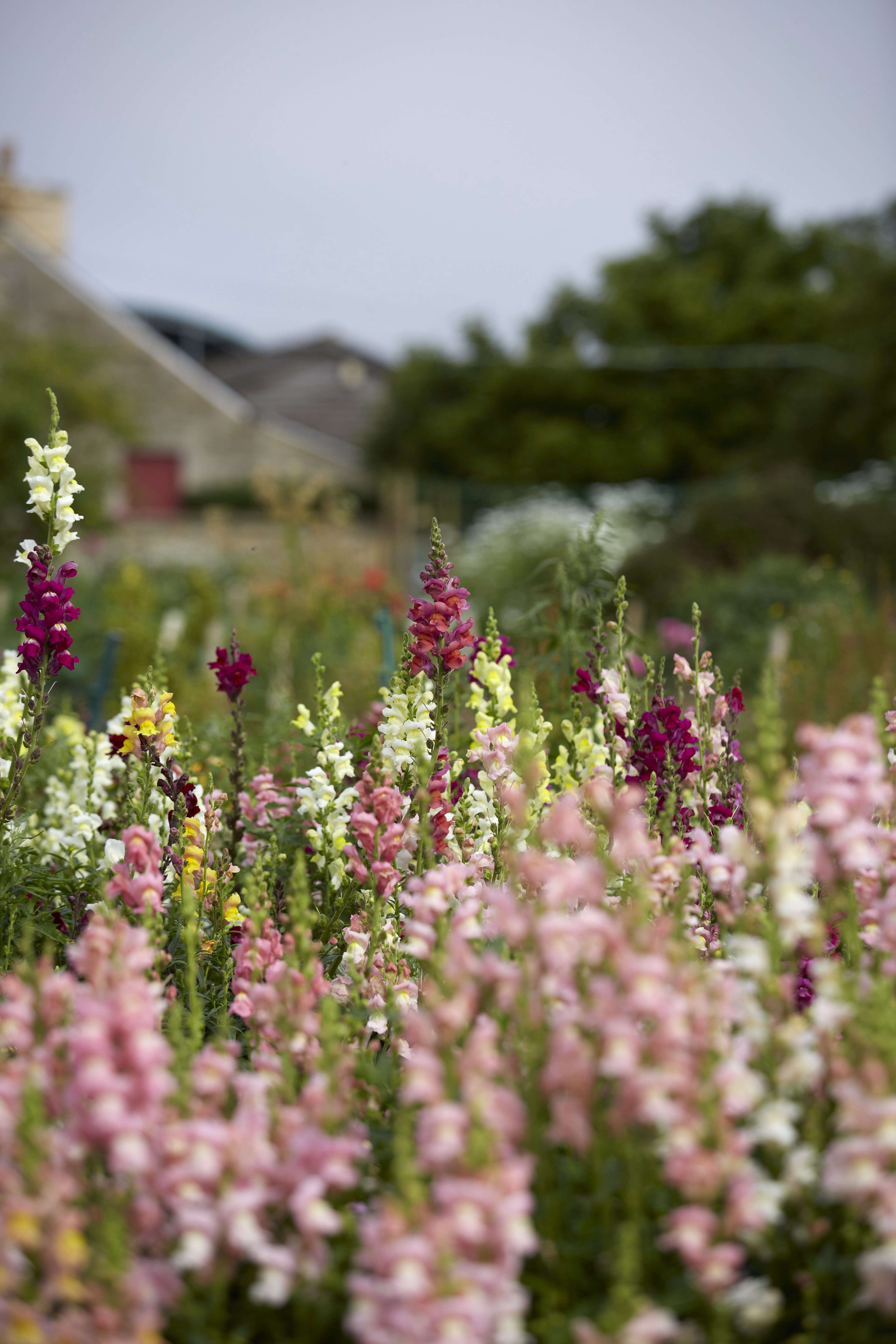 Studio visit electric daisy flower farm gardenista another prolific grower are the antirrhinums which come in many different colours and fiona has planted izmirmasajfo