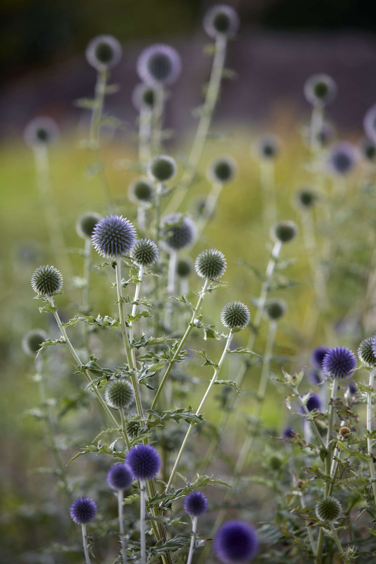 Globe thistle (Echinops sphaerocephalus)is a long-lasting cut flower. Photograph by Britt Willoughby Dyer, from Studio Visit: Electric Daisy Flower Farm.
