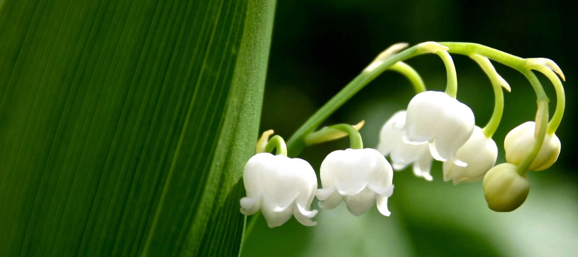 How To Successfully Grow Lily Of The Valley A Field Guide To