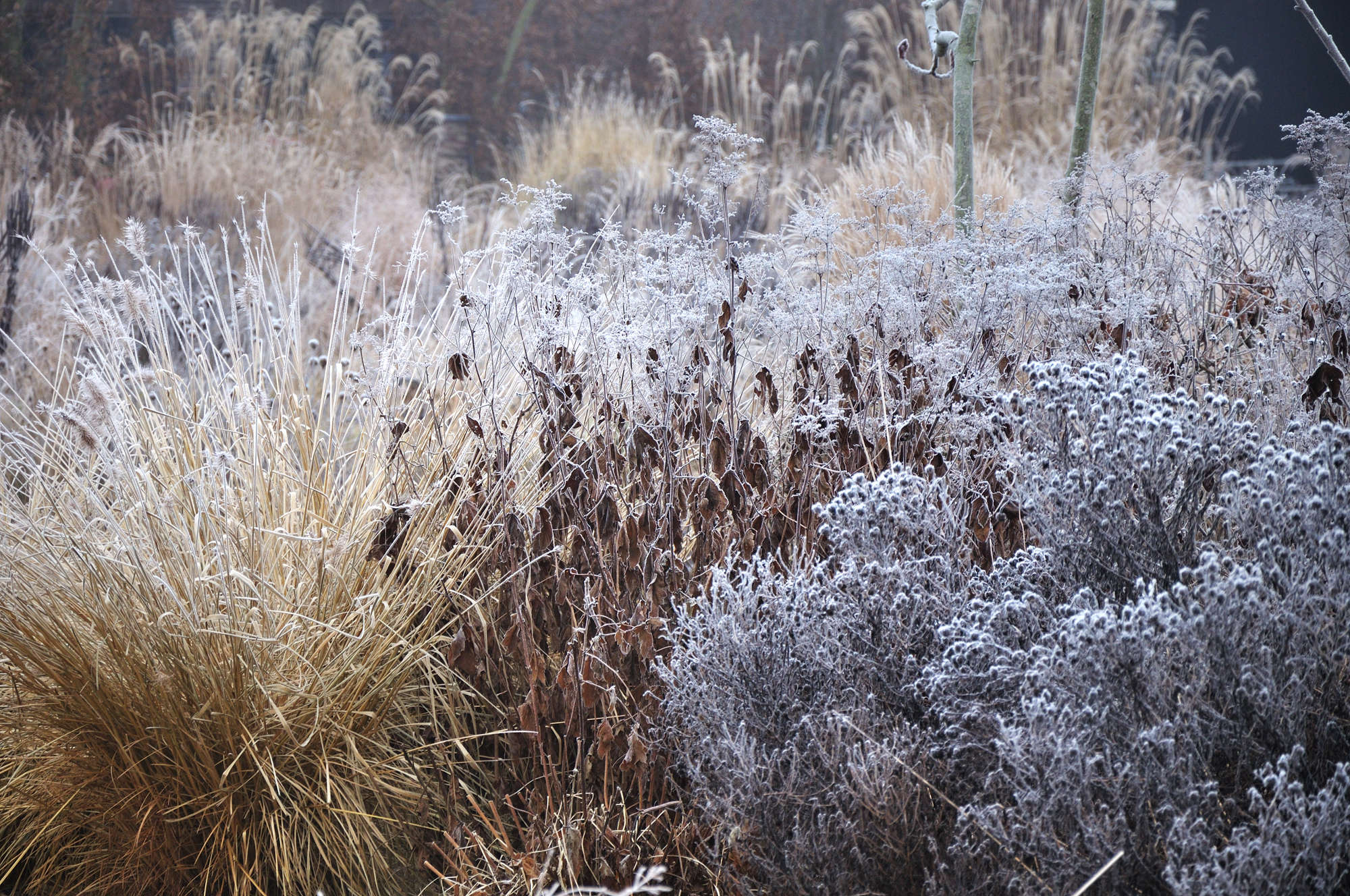 Frank Heijligers Dutch Winter Garden Grasses 9