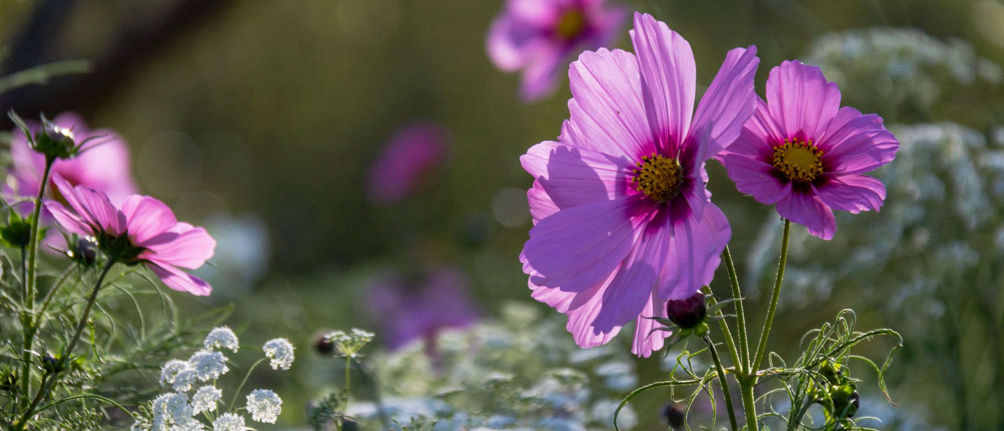 How To Successfully Grow Cosmos A Field Guide To Planting Care