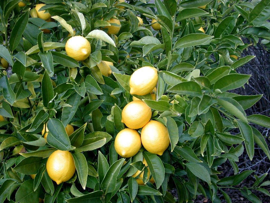 Gardening 101  Lemon Tree