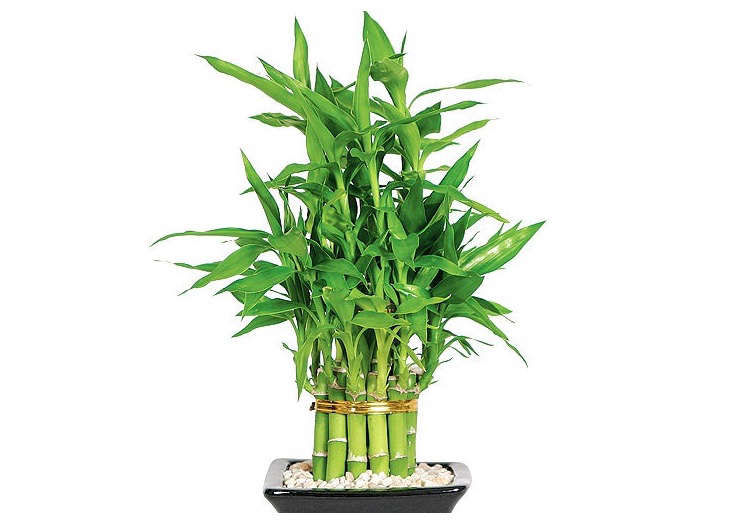 Lucky bamboo at Etsy