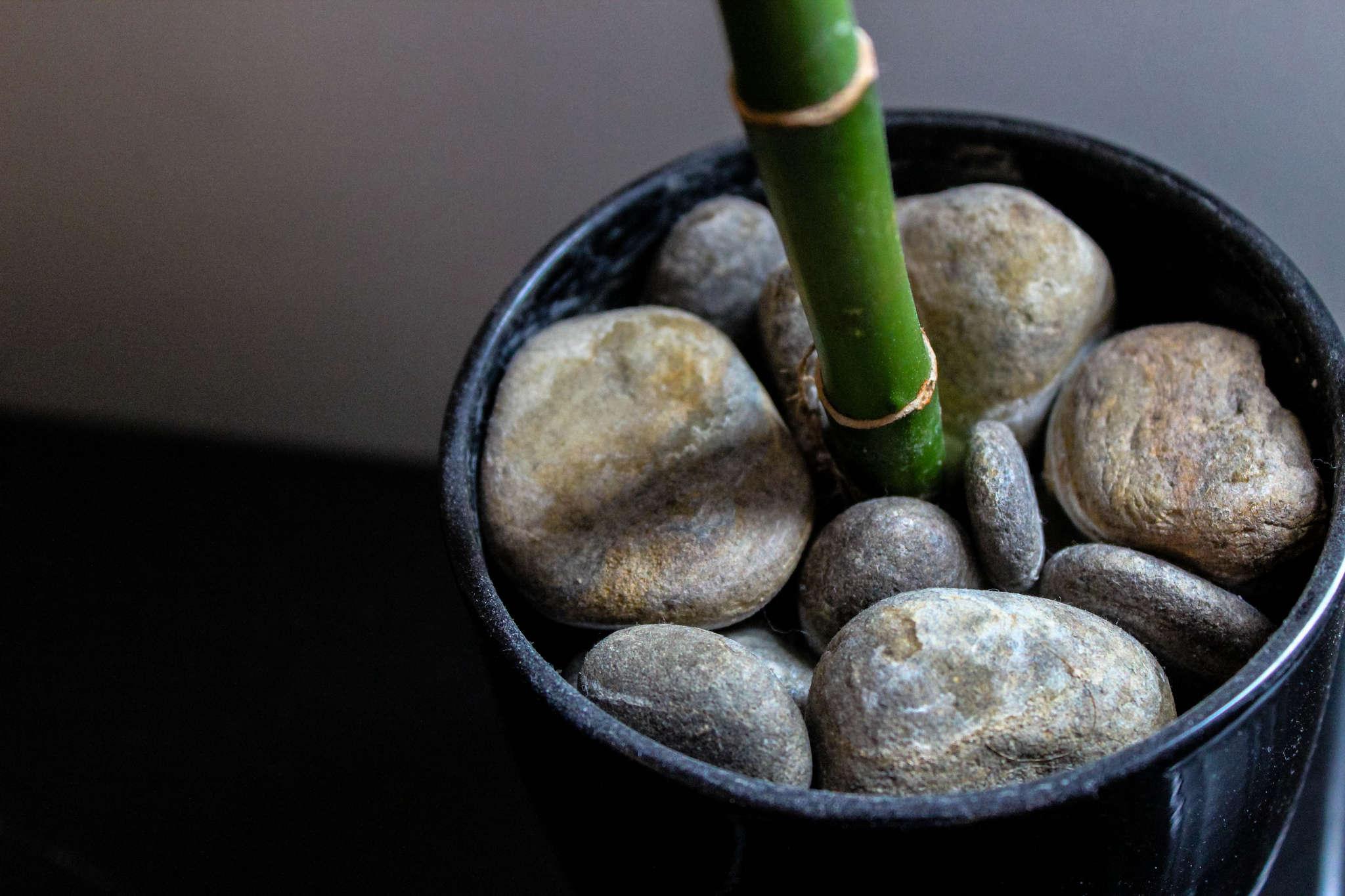 Gardening 101 Lucky Bamboo Gardenista