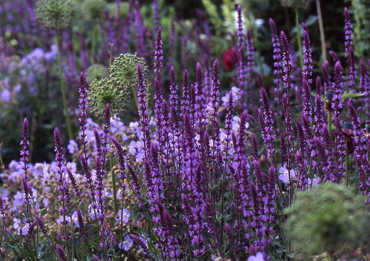 Exceptionnel Salvia Britt Dyer 2