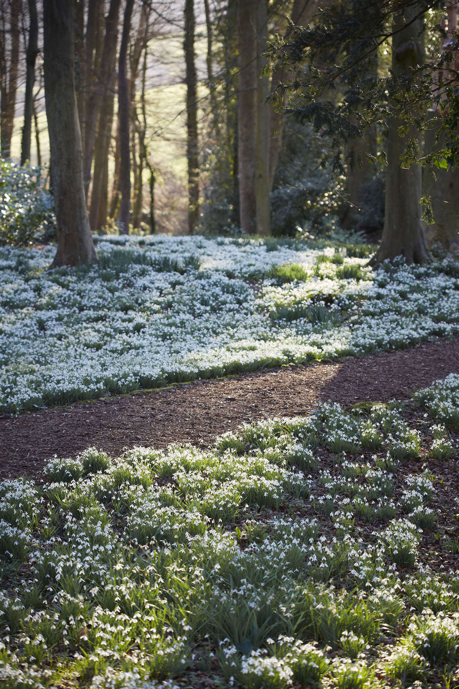 Snowdrops at Painswick Rococo Garden, Gloucestershire