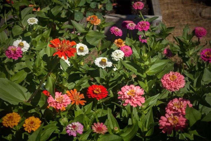 Gardening 101: Zinnias - Gardenista on petunia garden bed, sunflower garden bed, zinnia mix flower bed, sweet pea garden bed,