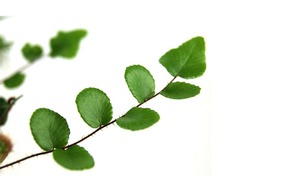 "Picture of Live Button Fern aka Pellaea rotundifolia Plant Fit 4"" Pot"