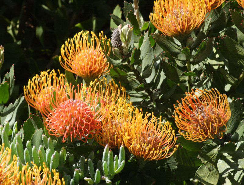 Gardening 101 Pincushion Protea Gardenista