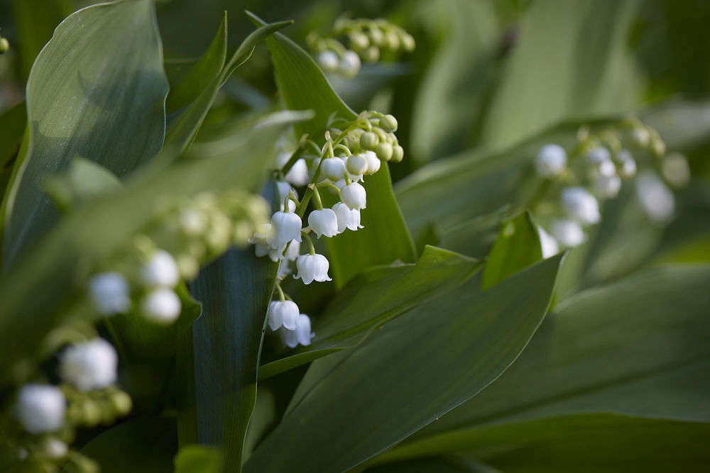 Lily Of The Valley Rethinking A Springtime Posy Gardenista