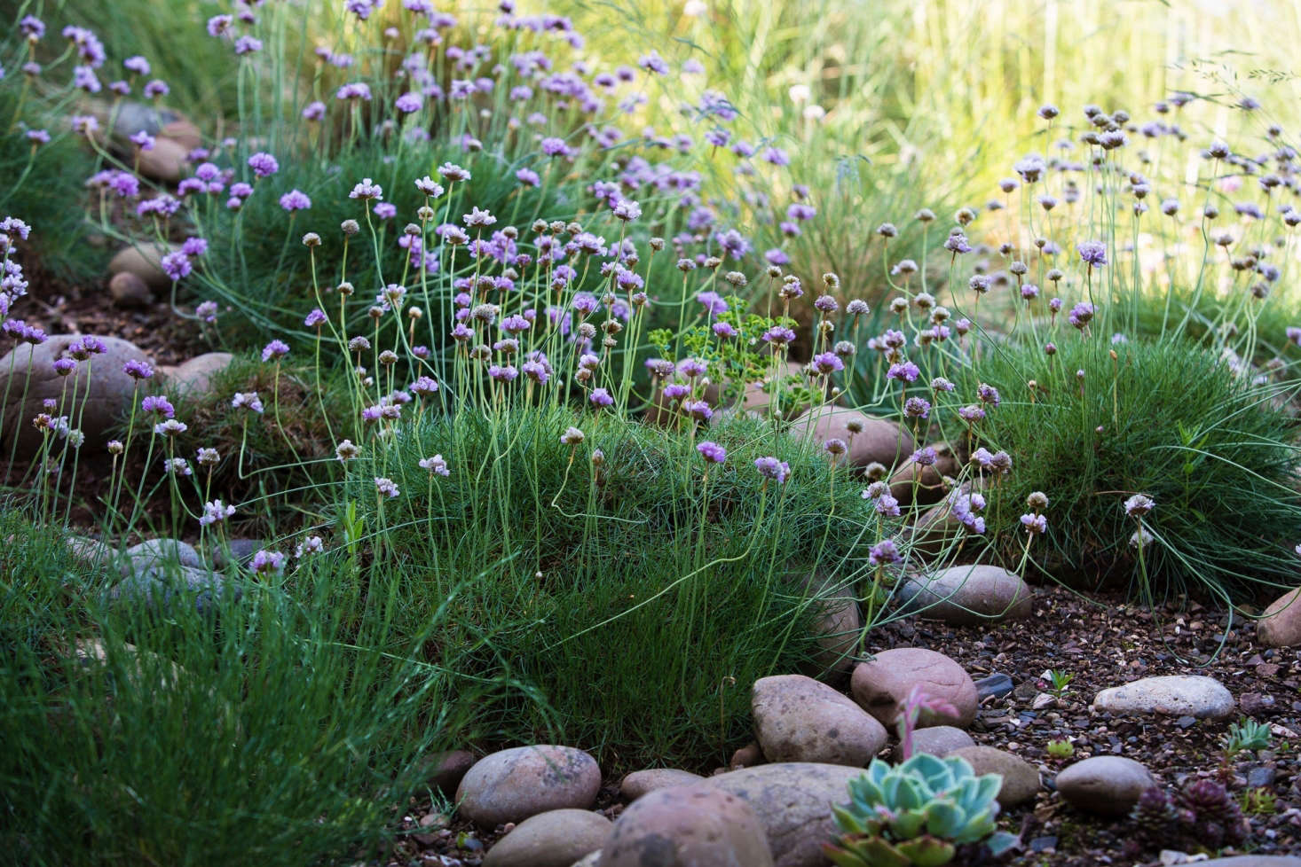 Sea thrift (Armeria maritima) forms helpful mats of ground cover on this slope. Photography by Claire Takacs, from Can This Garden Be Saved: &#8