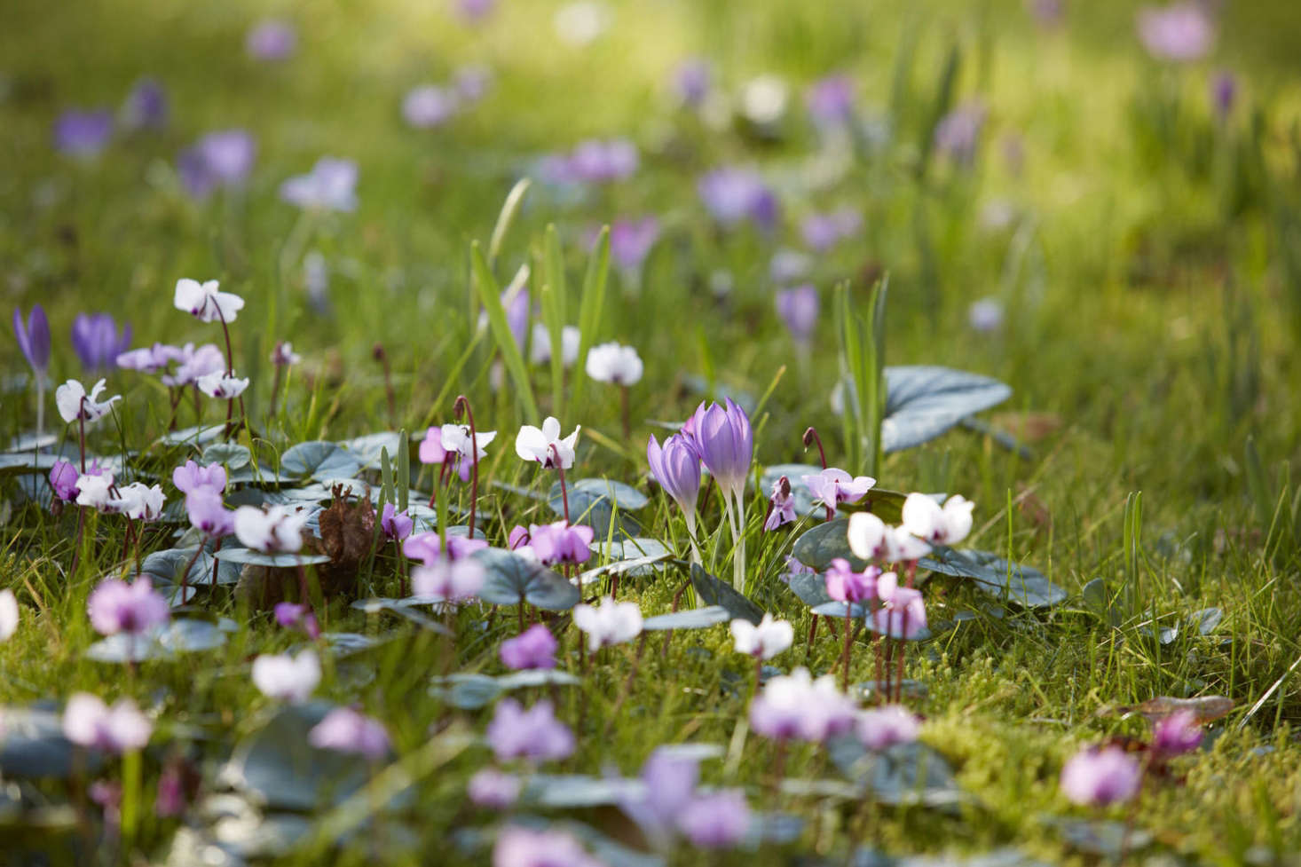 Crocus and cyclamen mingle on turf grass. Photograph by Britt Willoughby Dyer.