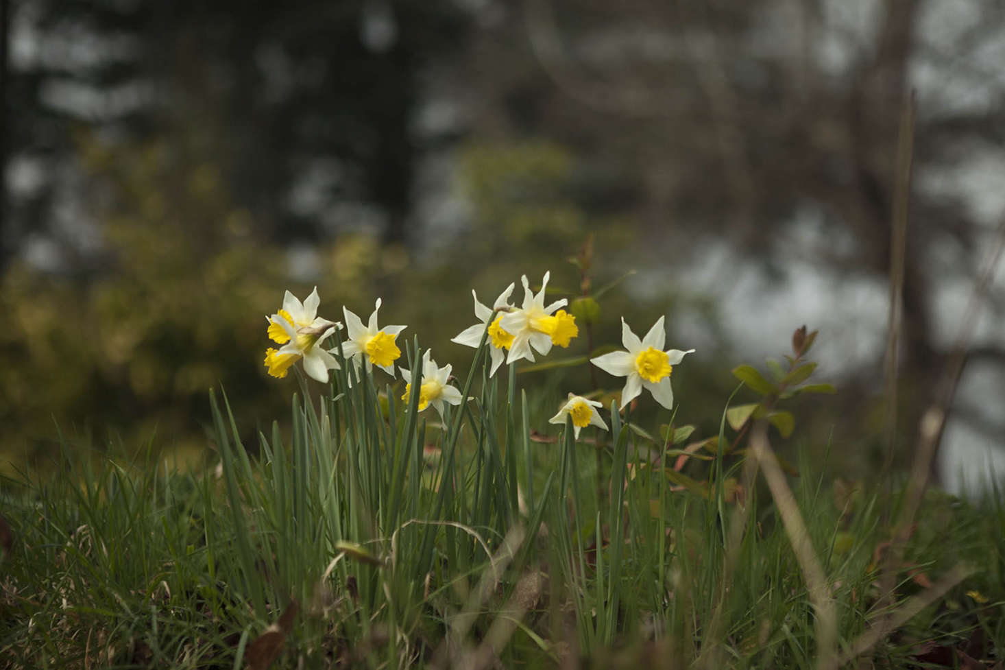 Narcissus at Madresfield Court. See more atGarden Visit: Daffodil Days at Madresfield Court.Photograph by Jim Powell.