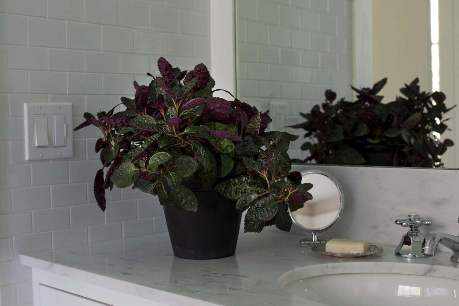Small House Plants With Purple Leaves on tomato plants with purple leaves, purple house plant fuzzy leaves, house with red flowers, house plants with shiny leaves, house plants with colorful leaves, house plants with small leaves, house plants with bronze leaves, house plants with waxy red blooms, florida plants with red leaves, house plant rubber plant, house plant purple heart, poisonous plants with purple leaves, house plants with long green leaves, perennial plants with purple leaves, house plants with light green leaves, olive tree green leaves, purple foliage plants with leaves, house plants and their names, wandering jew with fuzzy leaves, house plants with dark red leaves,