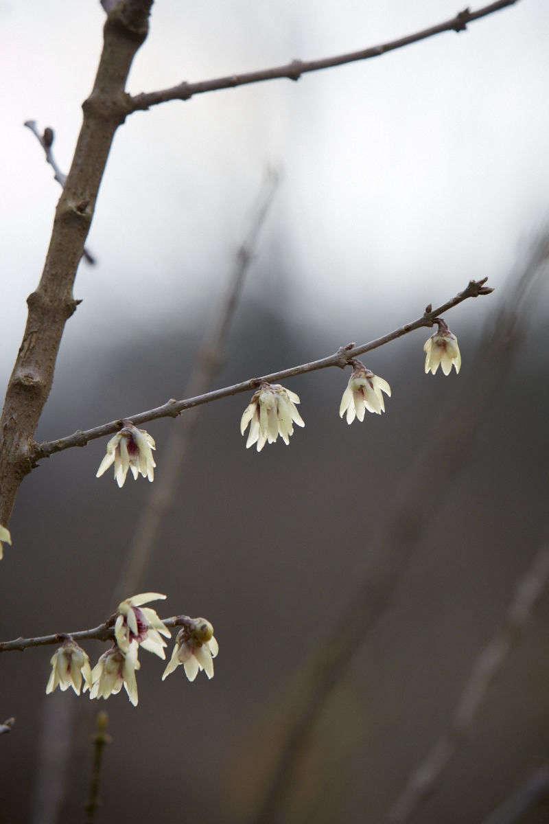 7 Fragrant Favorites Winter Flowering Scented Shrubs Gardenista