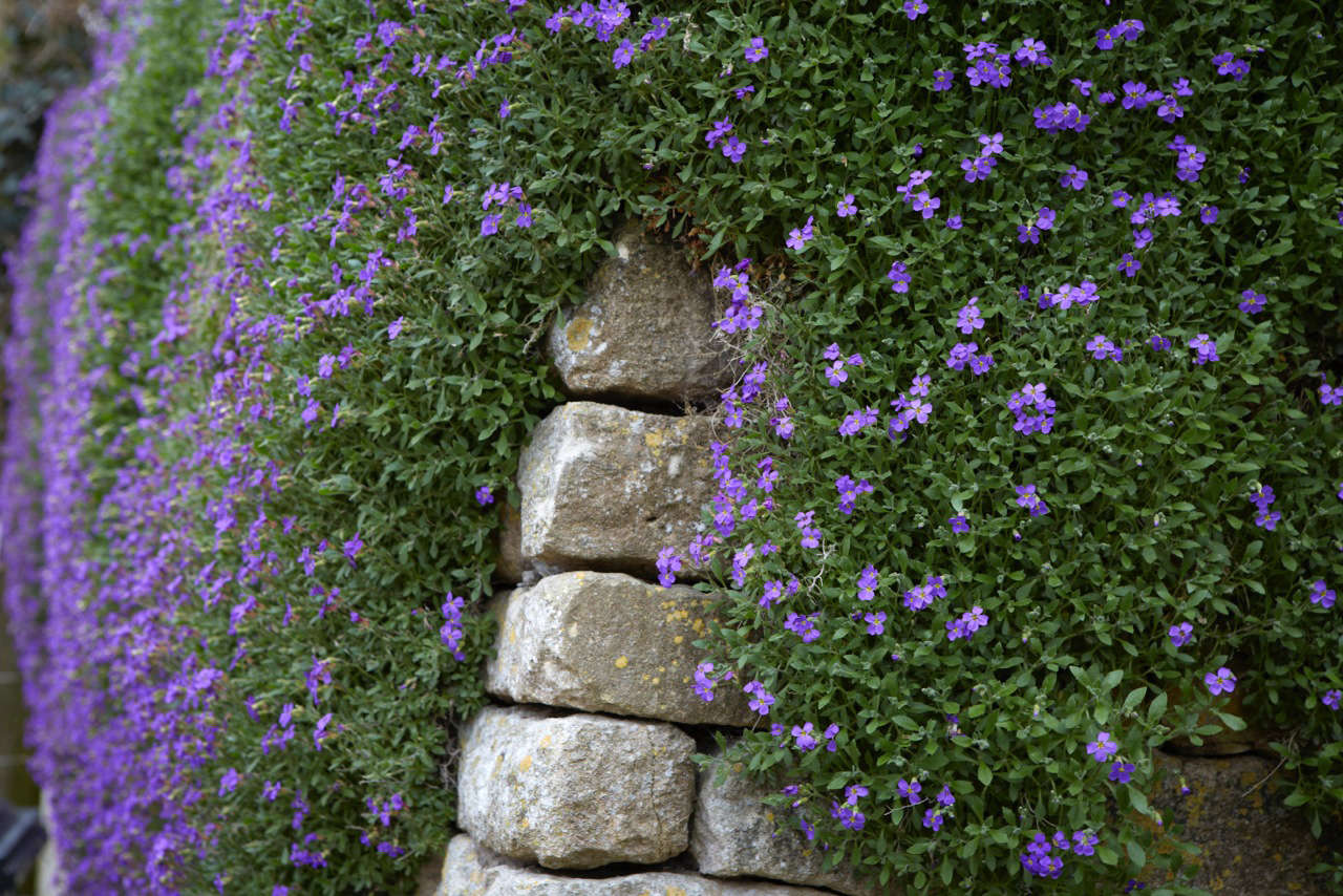 Aubretiaartfully covering a stone wall.