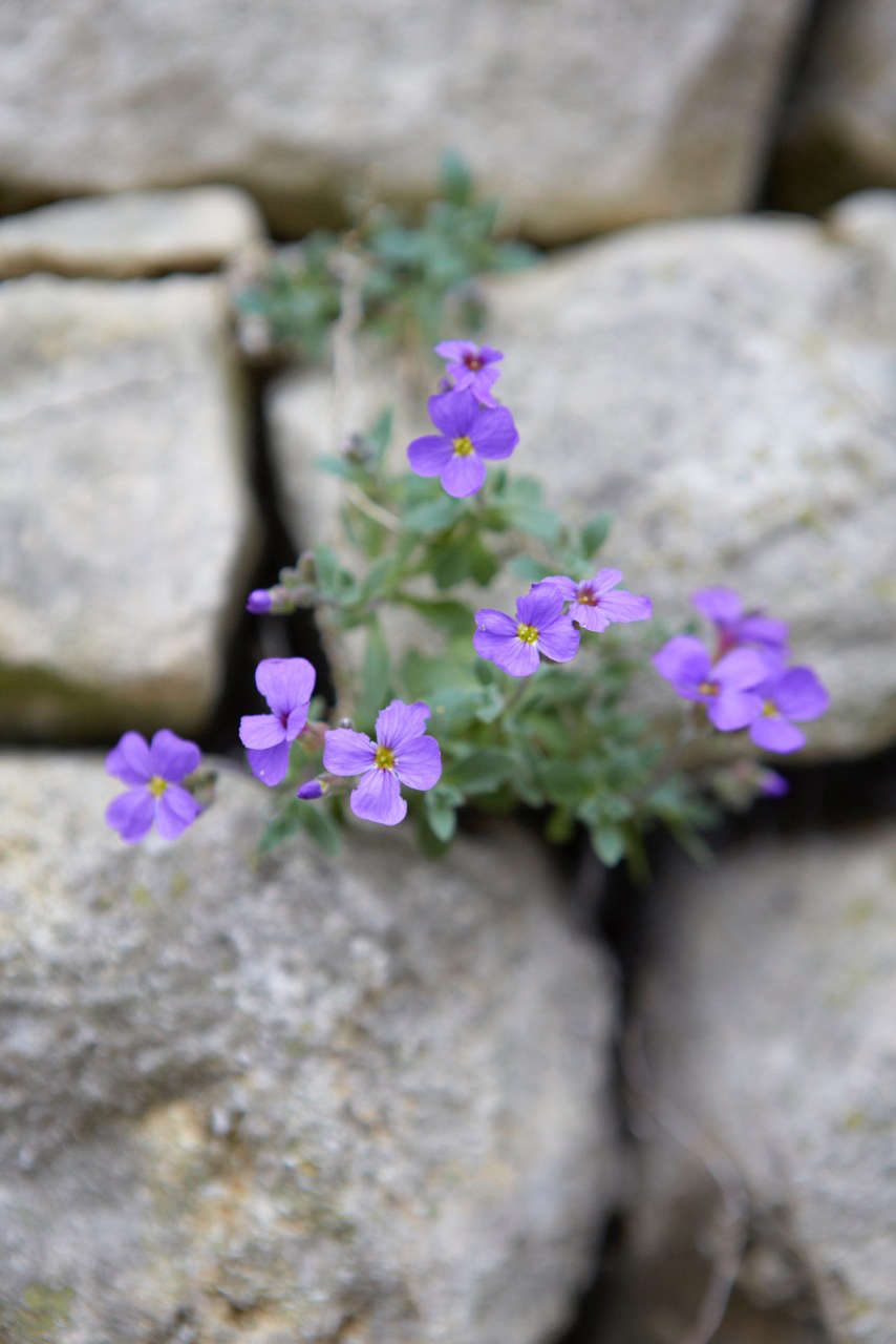 The cruciform flowers come in shades of mainly of purple, though there are some red forms.