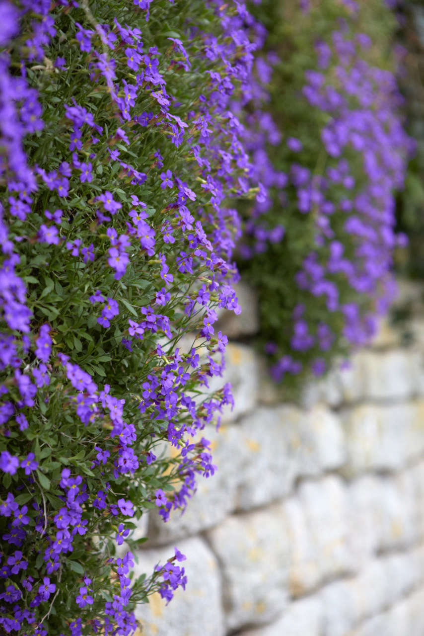 Aubretia growing from a stone wall in the Cotswolds, England.