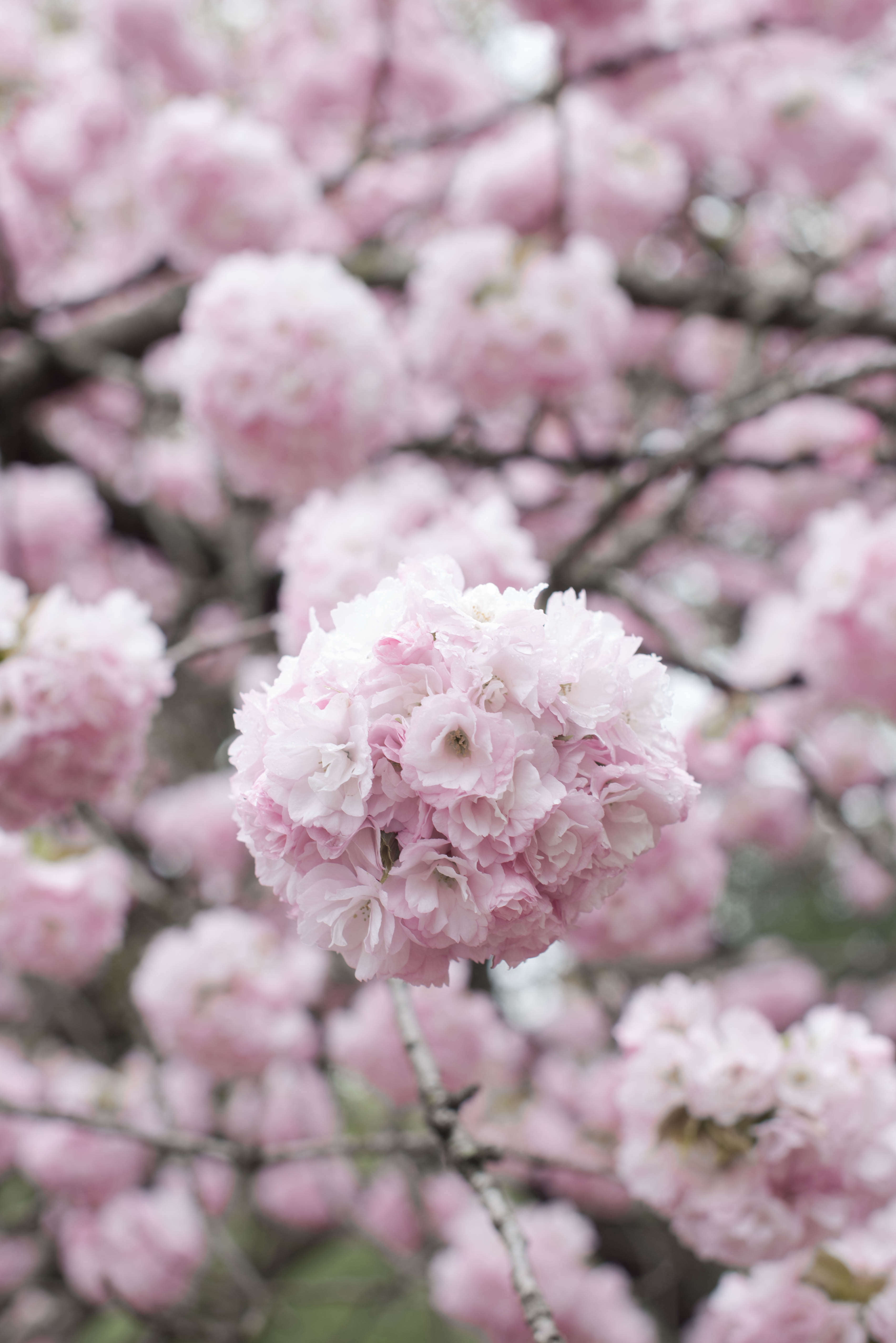 Cherry Blossoms: 6 Flowering Trees to Grow at Home ...