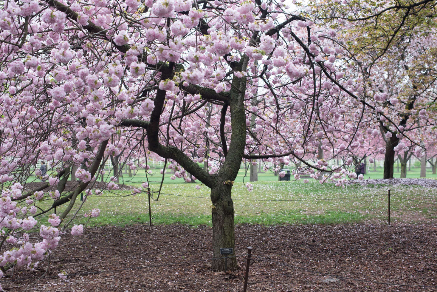 Cherry blossoms 6 flowering trees to grow at home gardenista the wide spreading horinji mightylinksfo