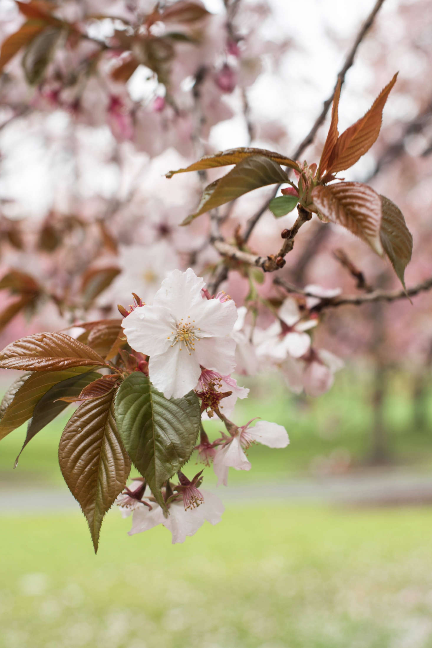 Cherry Blossoms 6 Flowering Trees To Grow At Home Gardenista