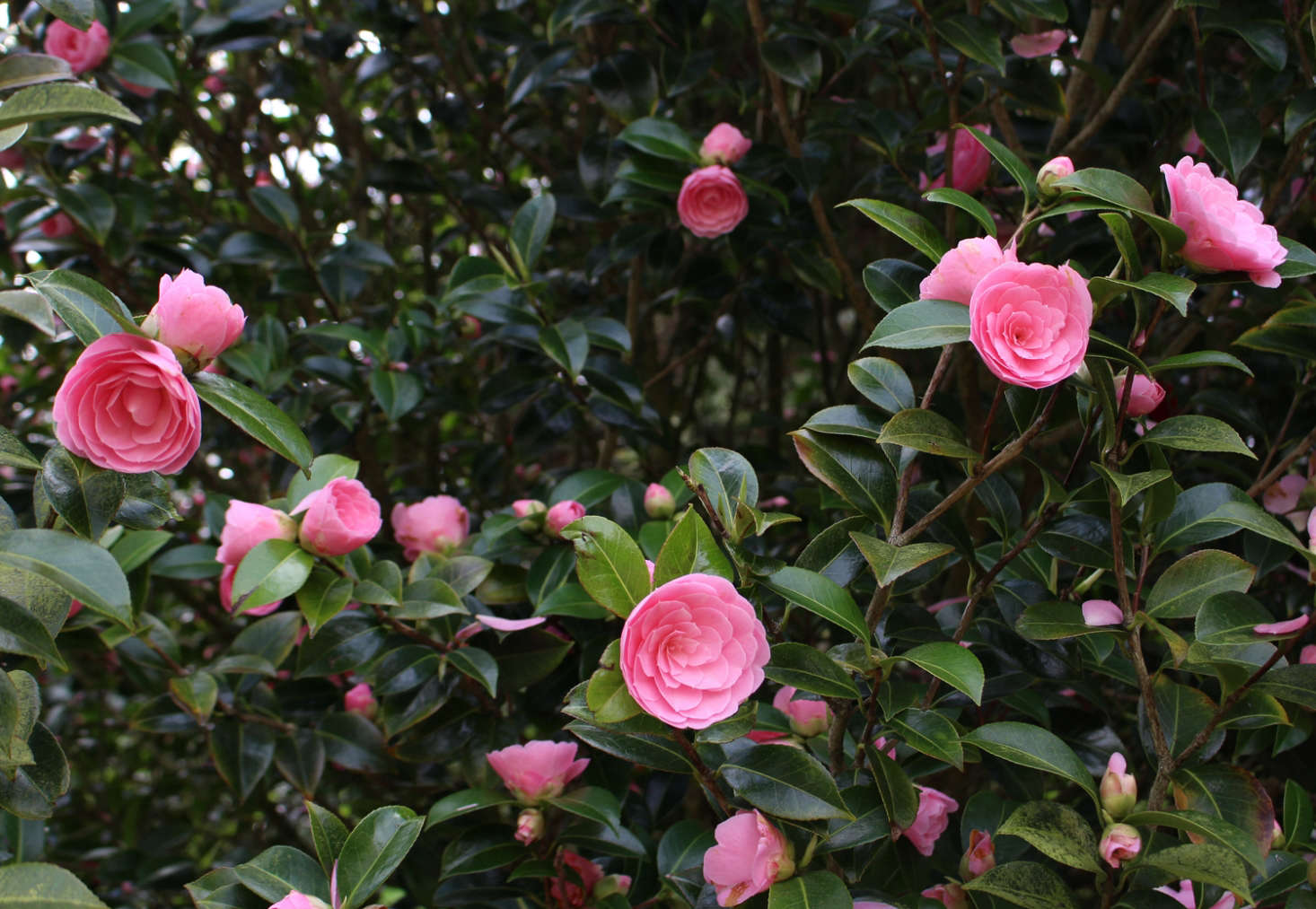 'E.G. Waterhouse', a Williams-raised camellia growing along the driveway where it was raised, at Caerhays Castle in Cornwall. Photograph by Kendra Wilson, from Landscaping Ideas: The Case for Camellias.