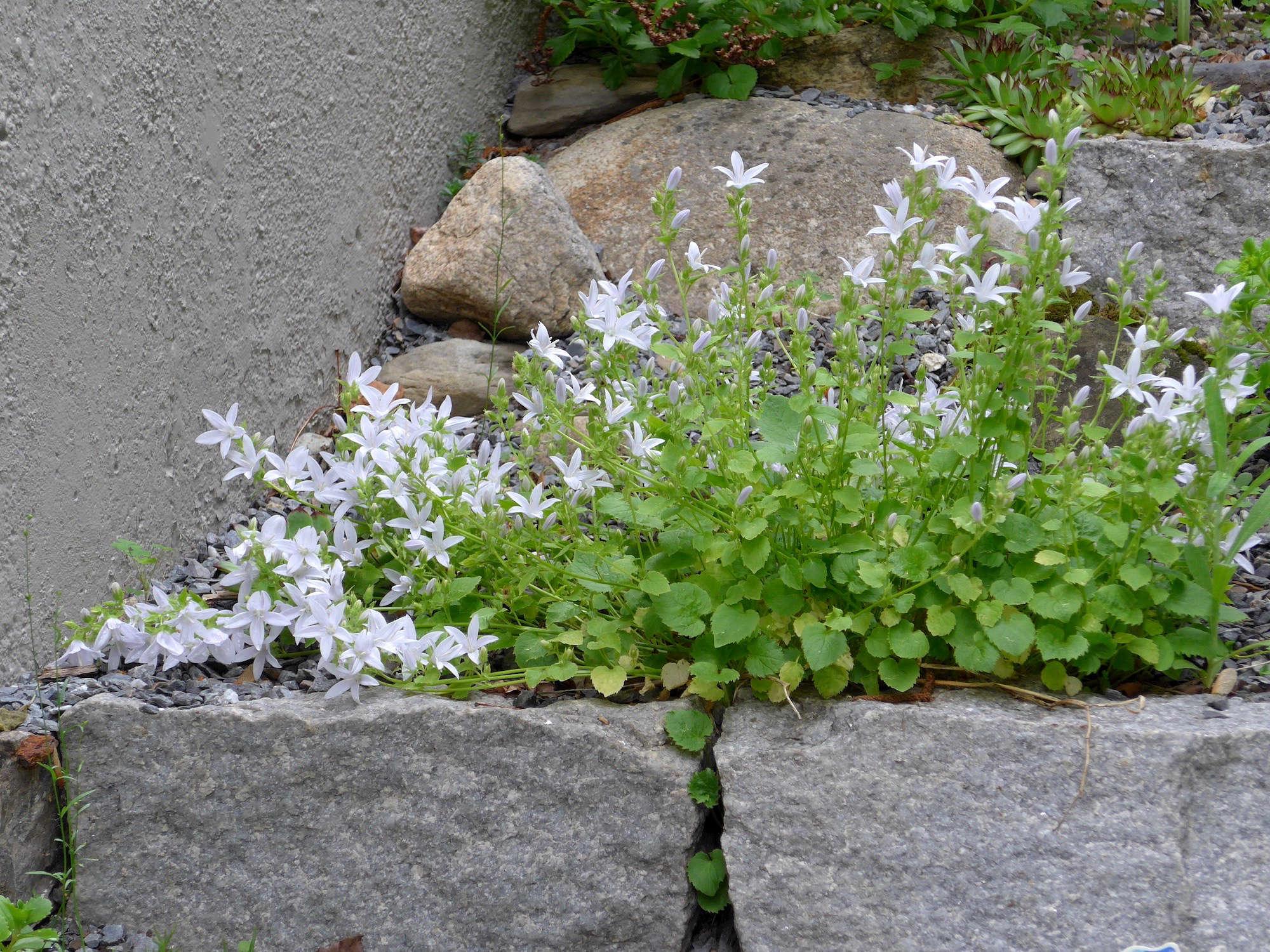 Gardening 101 Bellflowers Gardenista
