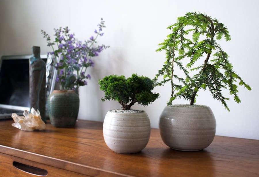 Shopper S Diary Mini Bonsai Trees From Dandy Farmer
