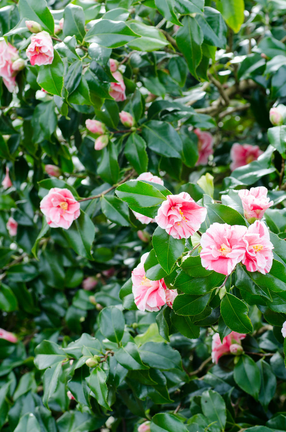 Camellias in control; irresistible or irritating? Photograph by Heather Edwards.
