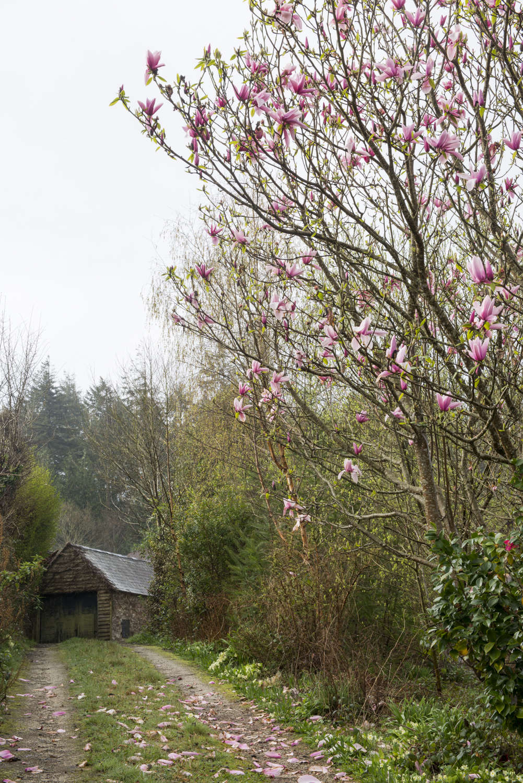 Flowering Magnolias 7 Favorite Trees To Plant Gardenista