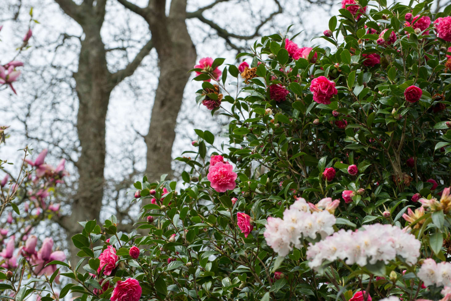 Landscaping Ideas The Case For Camellias Gardenista