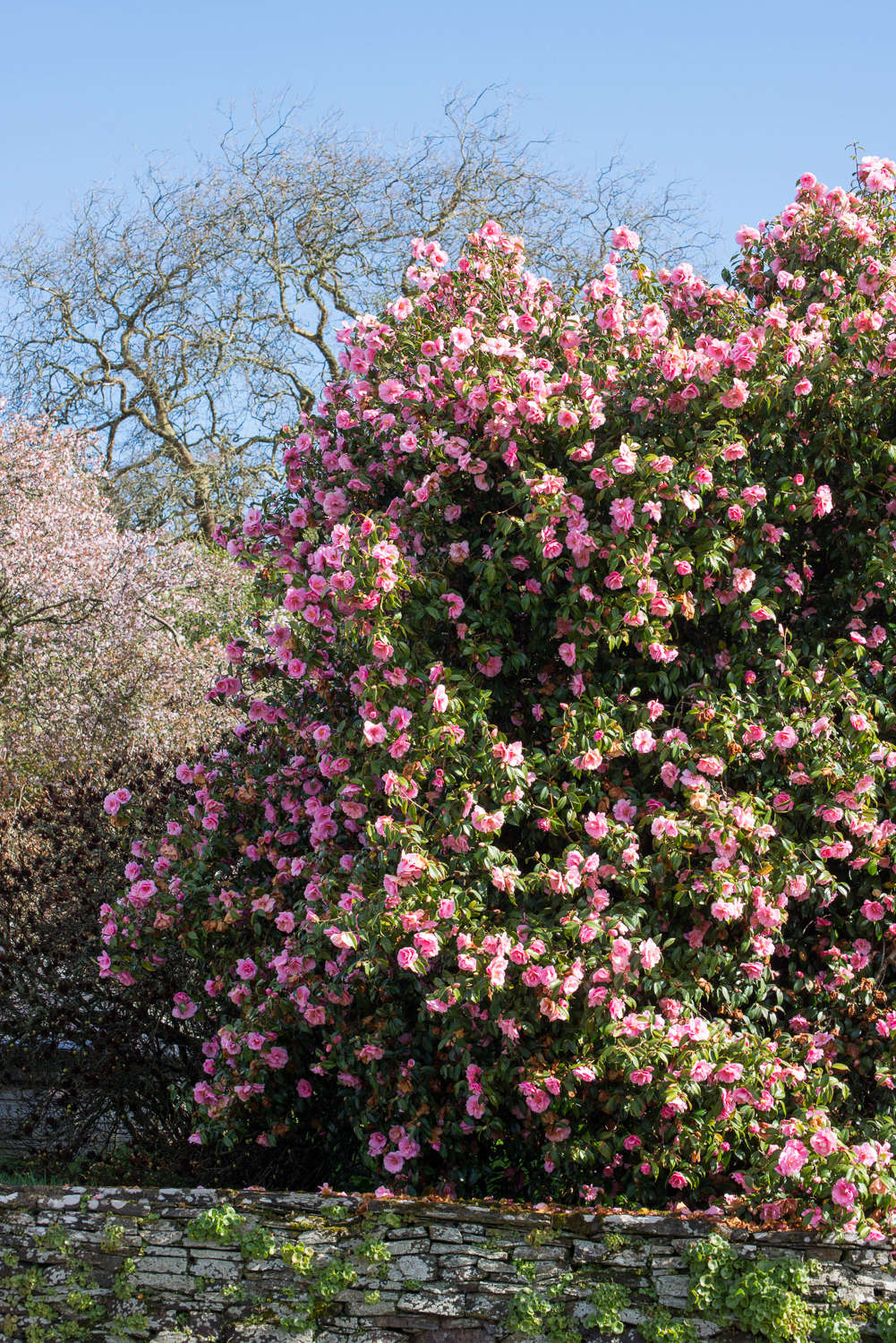 Mammoth camellias grow en masse in Cornwall. See more at Landscaping Ideas: The Case for Camellias. Photograph by Heather Edwards.