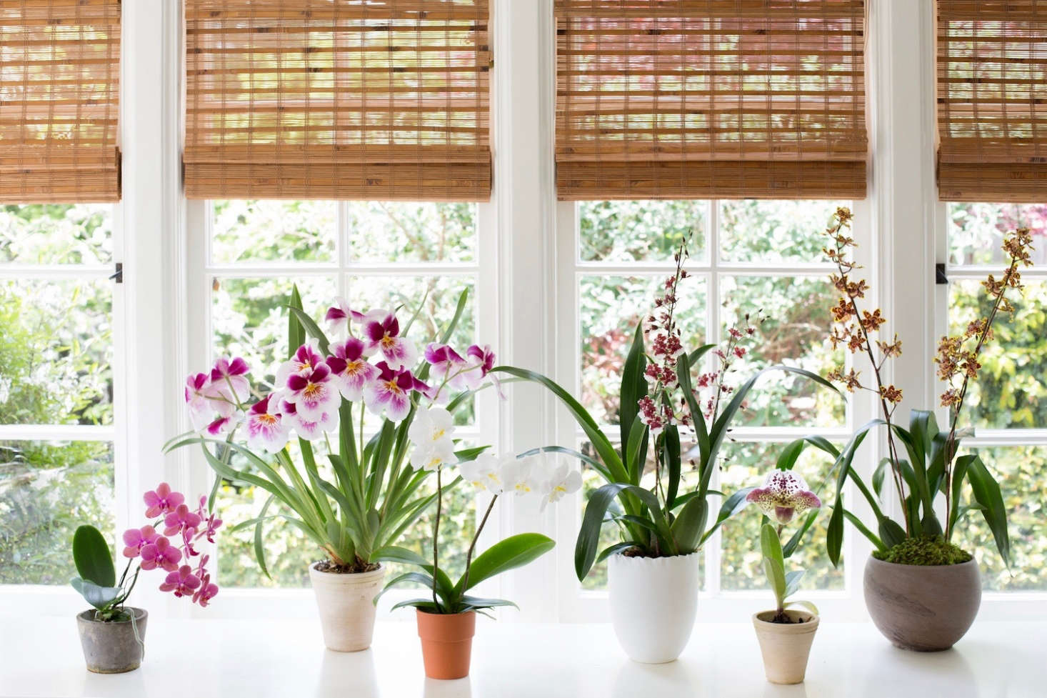 Six orchids in a row. From L to R,a pink Doritaenopsis hybrid, a fragrant Pansy Orchid, a white Moth Orchid, a Sharry Baby, a Lady's Slipper, and a yellow Oncidium. Photograph by Mimi Giboin.