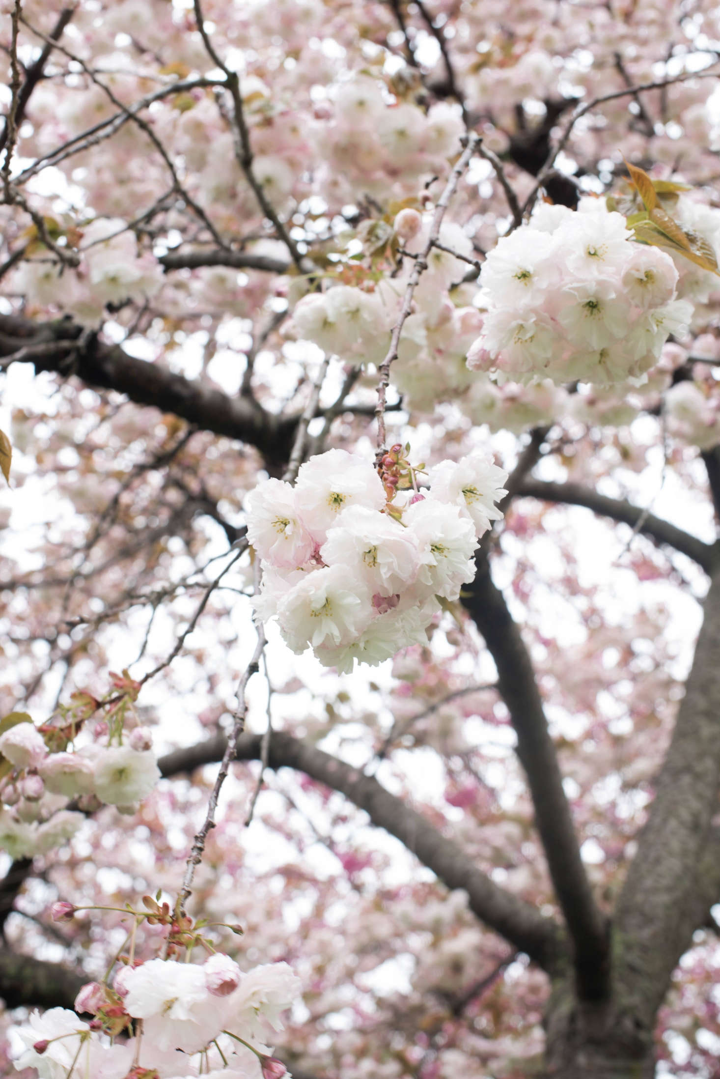 Cherry blossoms 6 flowering trees to grow at home gardenista the round multi petaled pink and white flowers of prunus serrulata kuramayama mightylinksfo