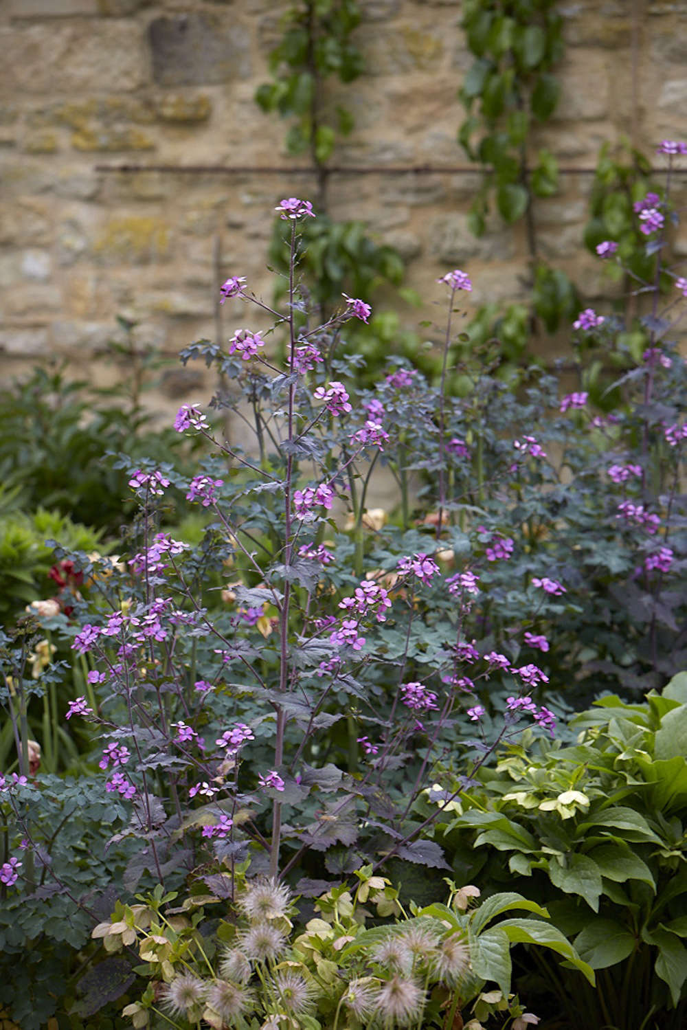 A row of magenta lunaria, between a row of hellebore and a row of Thalictrum 'Elin'. In the foreground, seed heads of pulsatilla are dotted through the gravel.