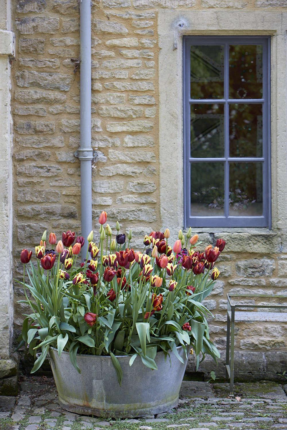 Tulips outside Bayntun Flowers in Wiltshire.