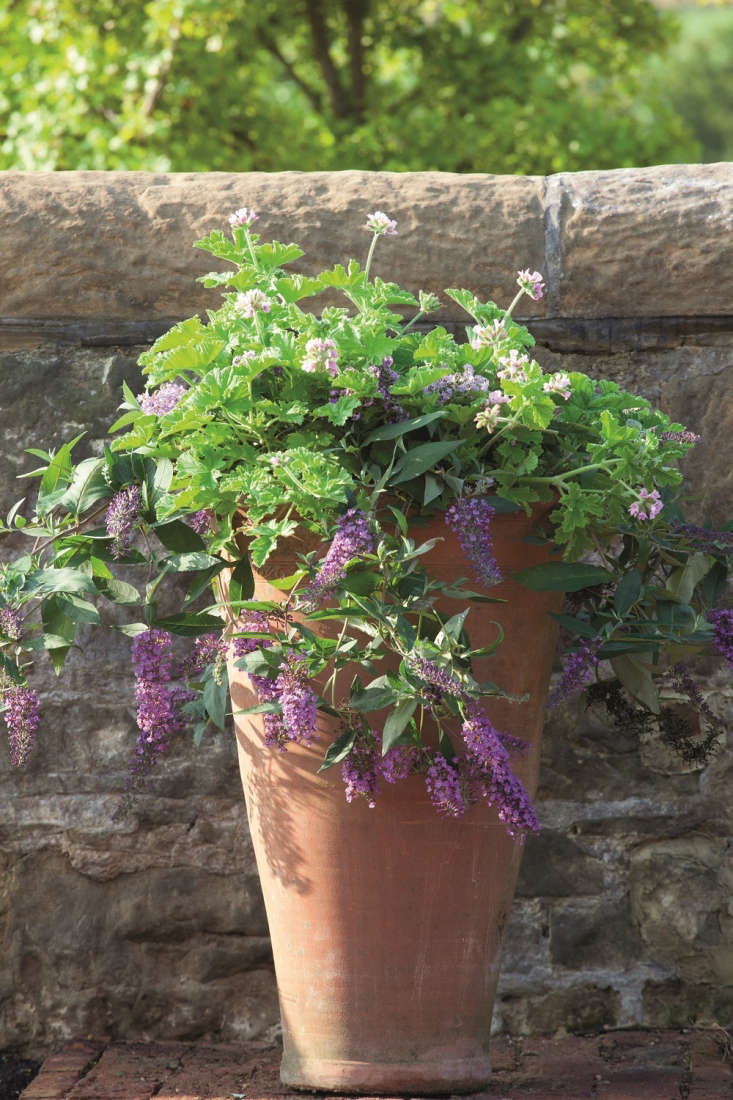 Container Gardening Purple Flowers By Sarah Raven Photograph Single Use By  Jonathan Buckley