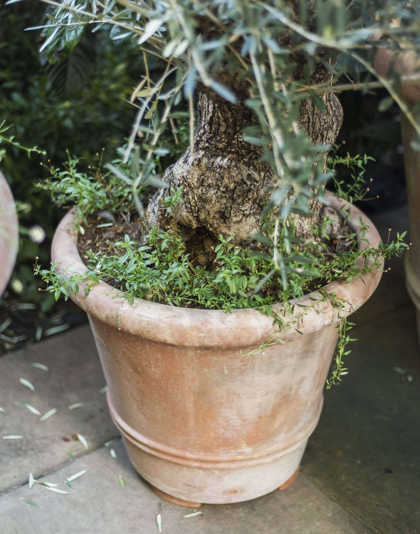 A mature olive tree thrives in an accommodating terra cotta pot.