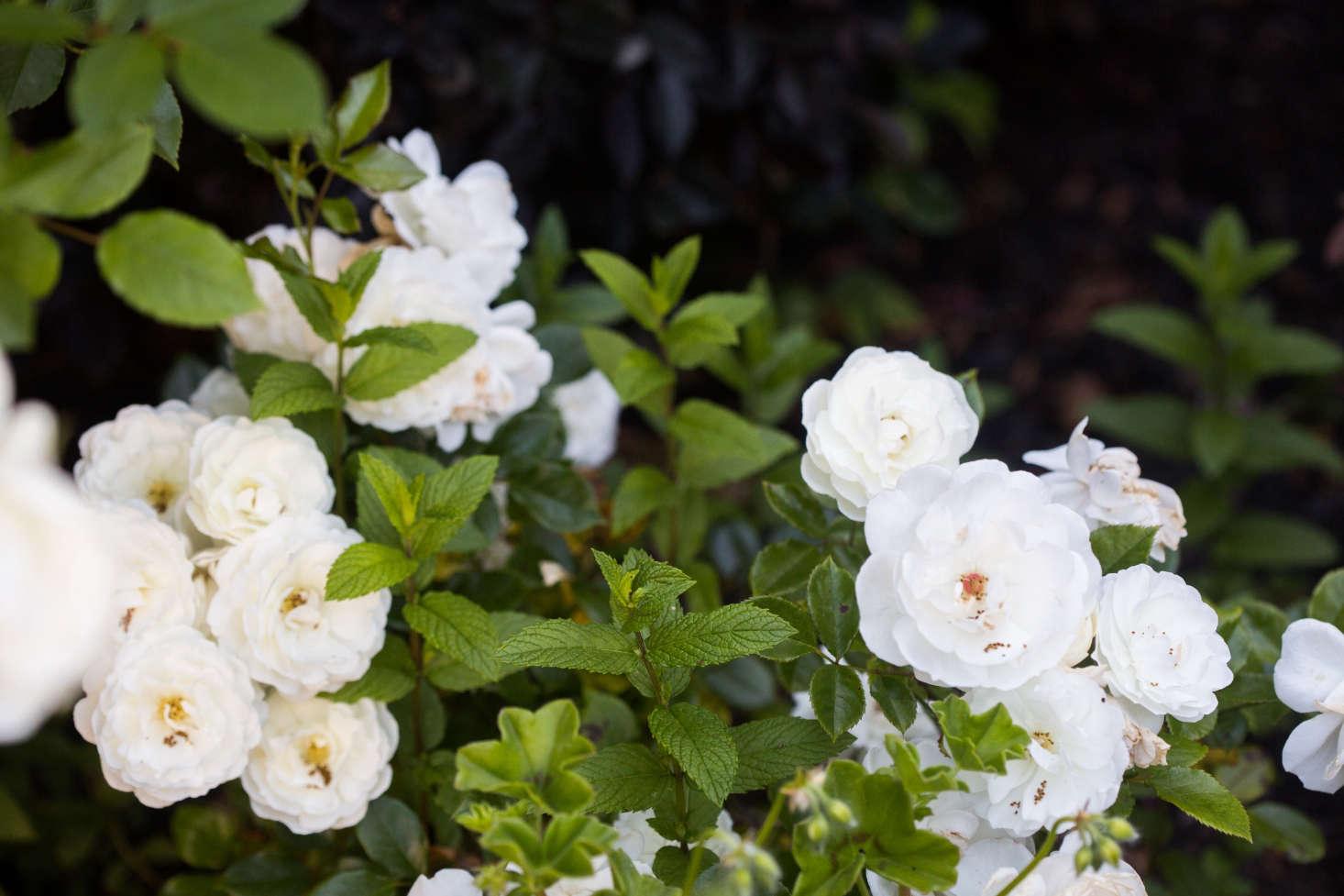 这些不是最糟糕的,玫瑰,玫瑰和玫瑰收藏的收藏品。我买了玫瑰——玫瑰玫瑰,玫瑰玫瑰,花了很多玫瑰玫瑰,玫瑰花瓣的花瓣