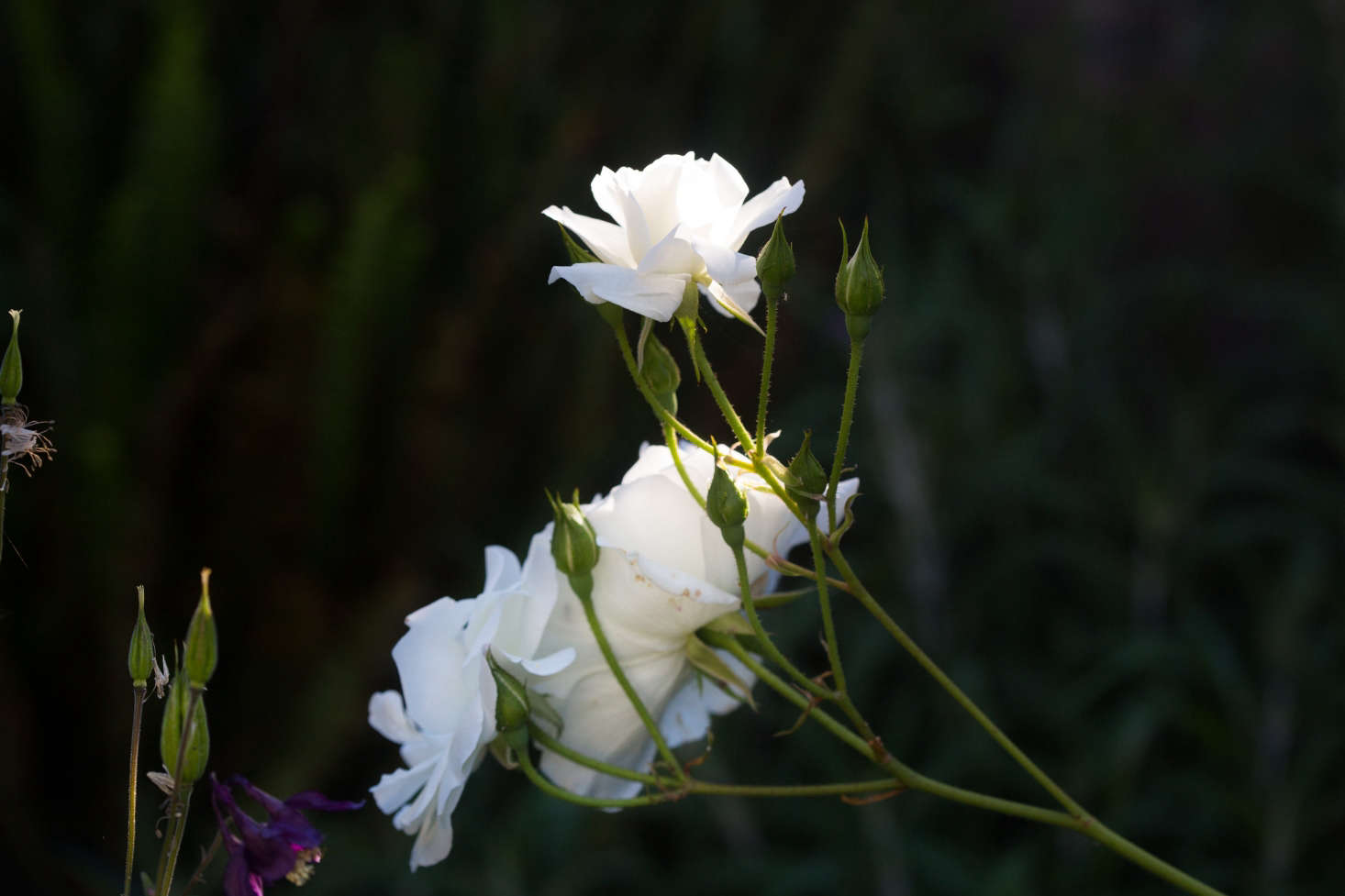 白玫瑰在蓝玫瑰里有很多。