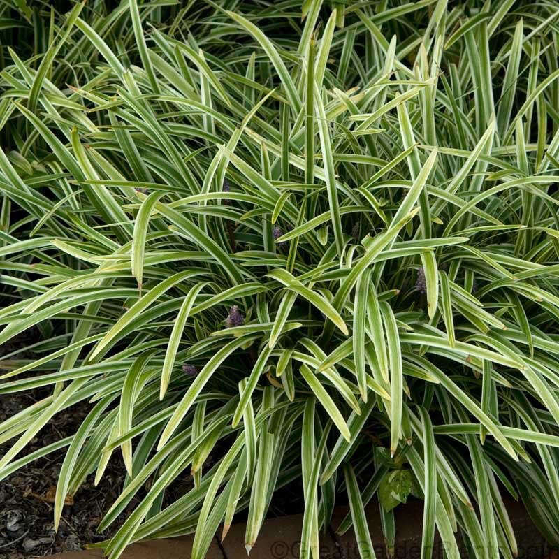 Liriope Silvery Sunproof is $69.97 for a flat of 18 pots from Wilson Bros Gardens.
