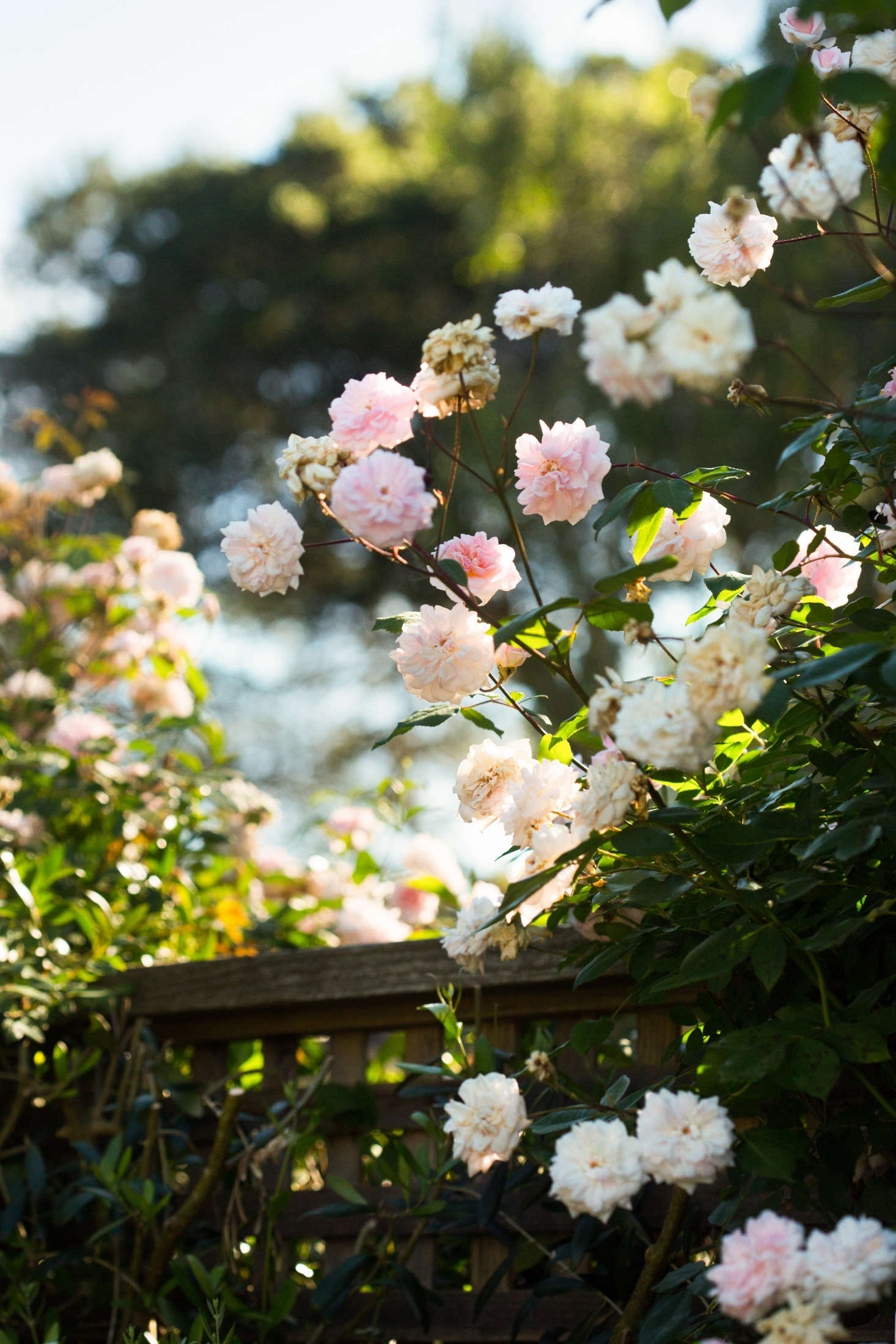 Roses In Garden: Landscape On A Budget: The $250 Instant Rose Garden