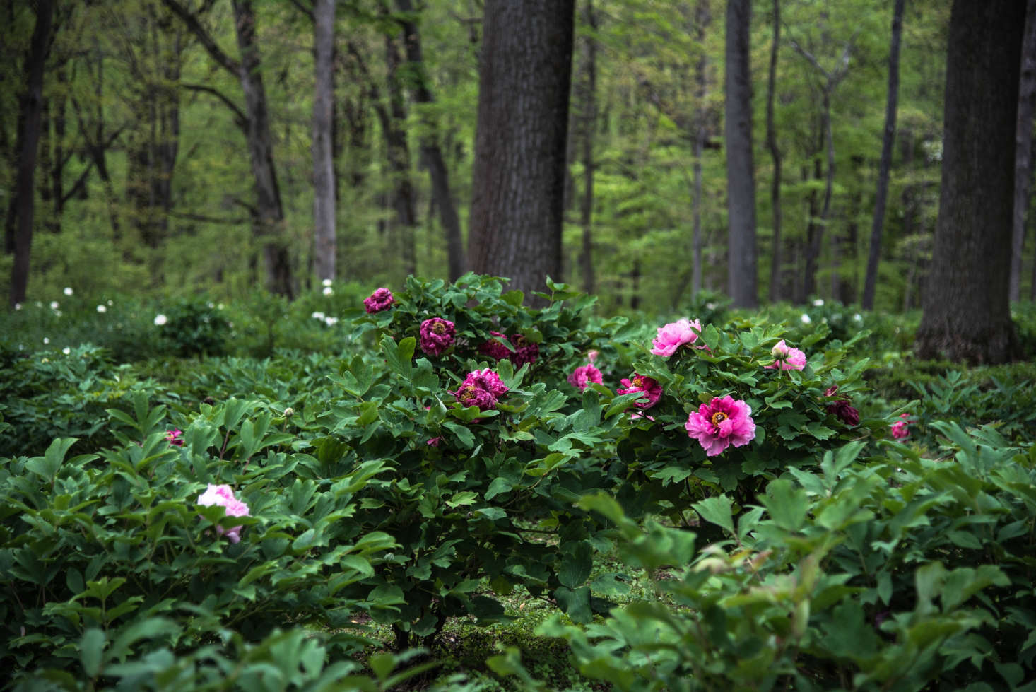 Features of growing and caring for tree peony