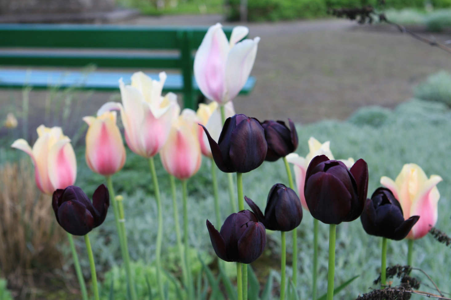 Deep purple Queen of the Night tulips, thriving in a group of seven. Photograph by Jeonghi Go via Flickr, from10 Garden Ideas to Steal from the Netherlands.