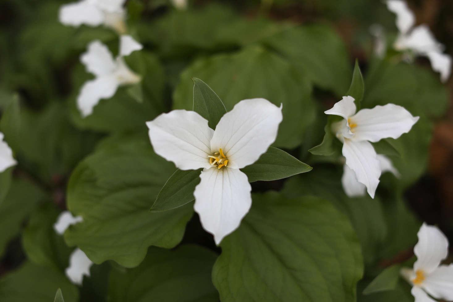 Gardening 101 Trilliums Gardenista