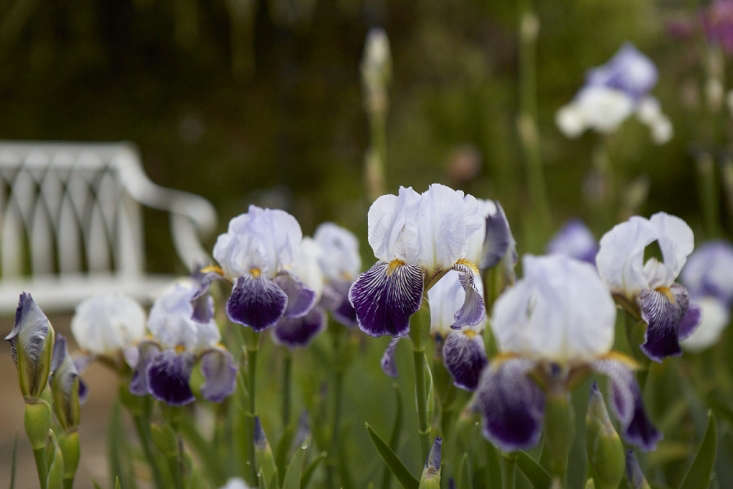 Calling All Gardeners A Quest To Save Rare Irises Gardenista