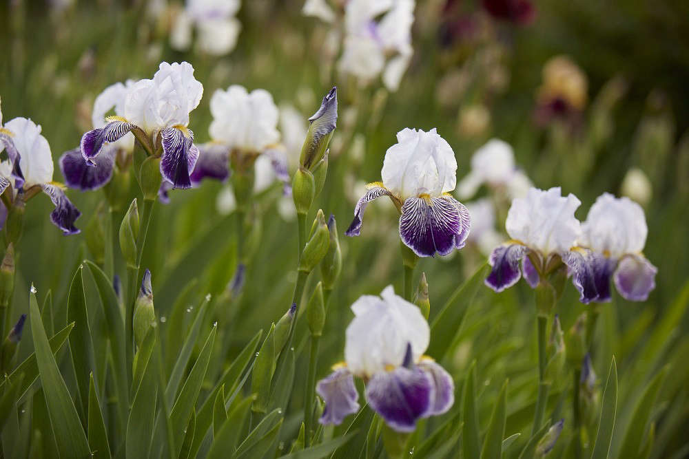 Photograph by Britt Willoughby Dyer, for Gardenista, from Bearded Irises: A Lost Generation of Flowers Has a Moment.