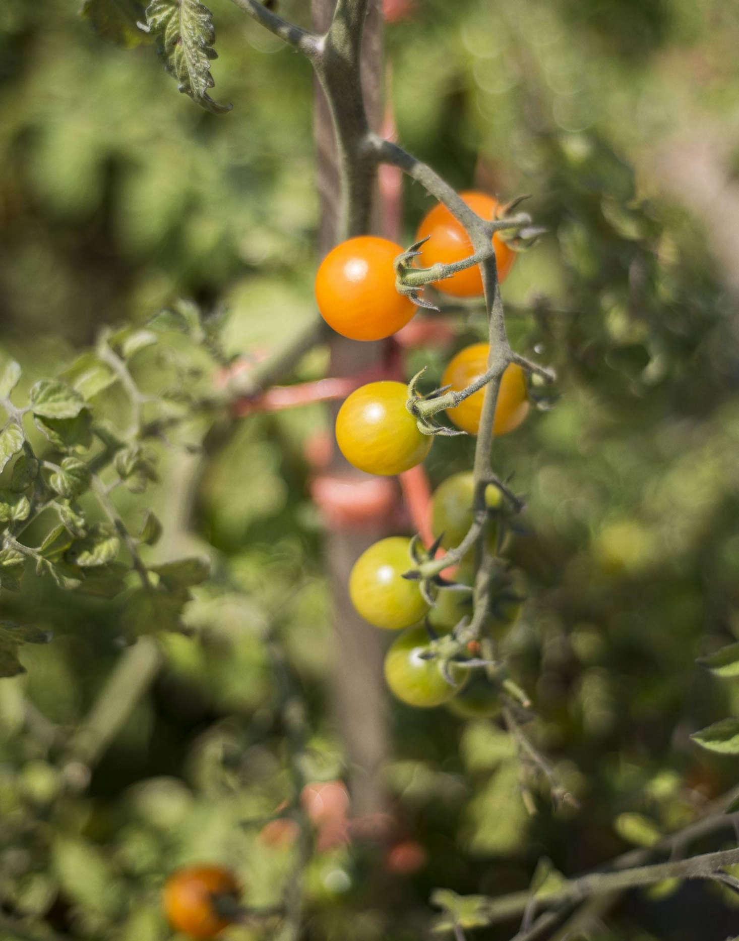 """看番茄番茄的番茄蔬菜,在研究:""""绿色的研究,和一种研究。马修·威廉姆斯的照片。"""