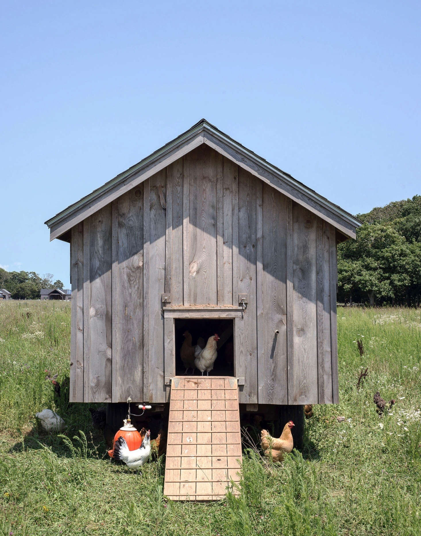 Along with the cows, the chickens are moved every day, giving them &#8