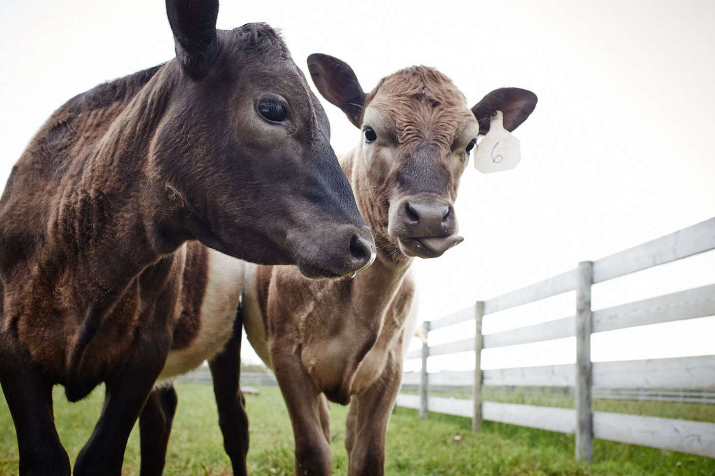 The first three cows to arrive at Grey Barn farm were Thelma, Helen, and Mary Nell. Photograph via Grey Barn.